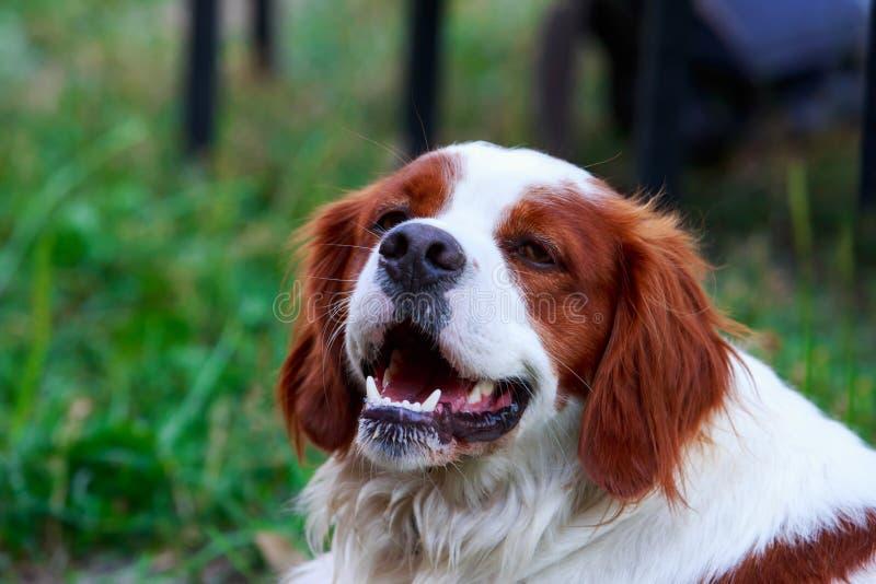 Spaniel bretão da raça do cão imagens de stock