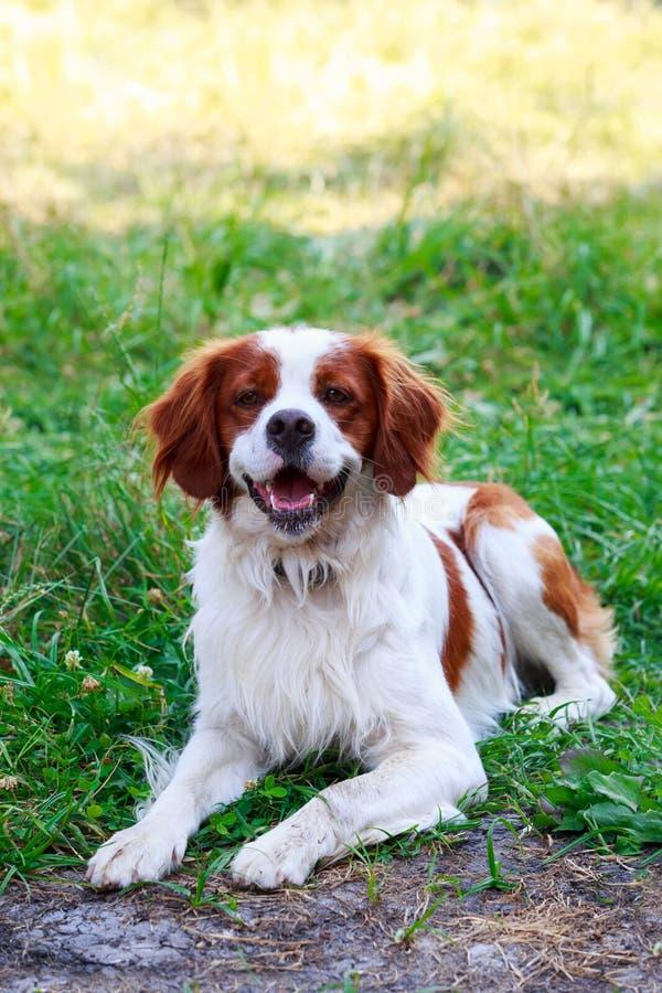 Spaniel bretão da raça do cão imagens de stock royalty free