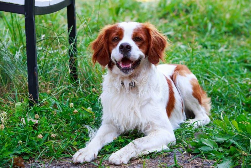 Spaniel bretão da raça do cão fotos de stock royalty free
