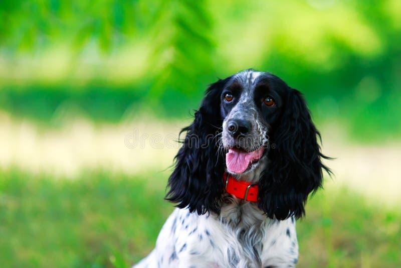 Spaniel da caça do russo da raça do cão imagens de stock royalty free