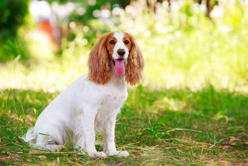 Spaniel da caça do russo da raça do cão imagem de stock