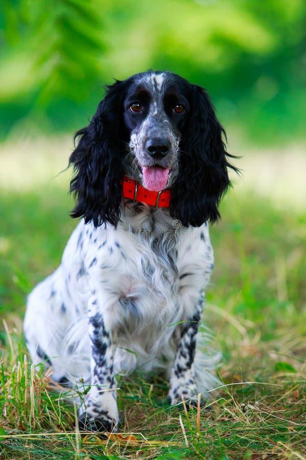 Spaniel da caça do russo da raça do cão foto de stock royalty free