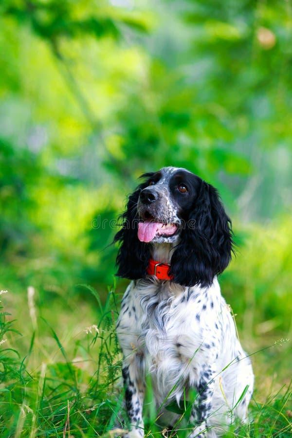 Spaniel da caça do russo da raça do cão imagem de stock royalty free