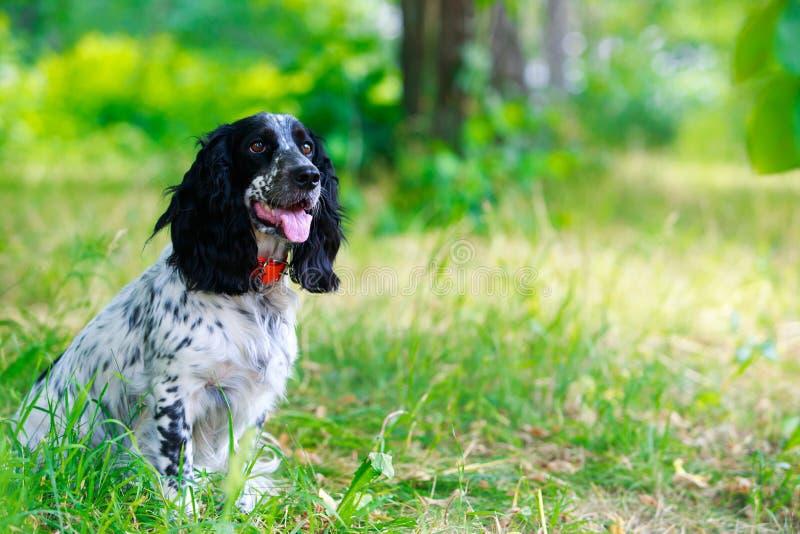 Spaniel da caça do russo da raça do cão foto de stock