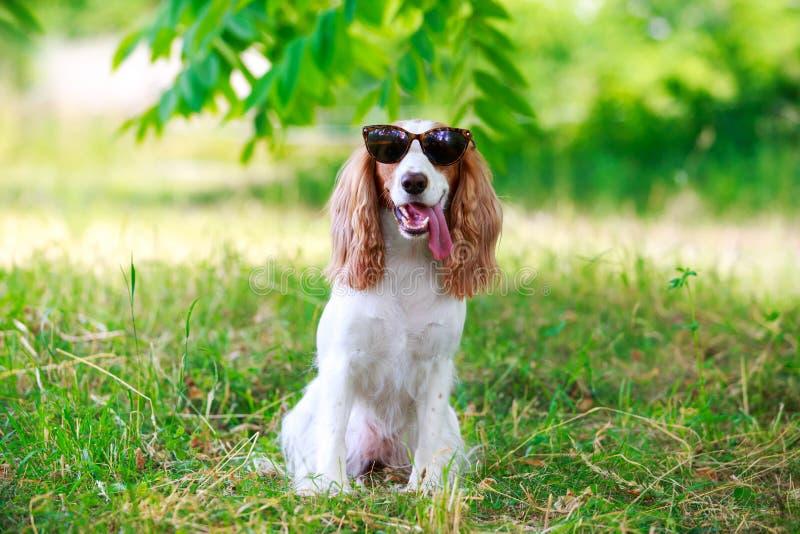 Spaniel da caça do russo da raça do cão fotos de stock