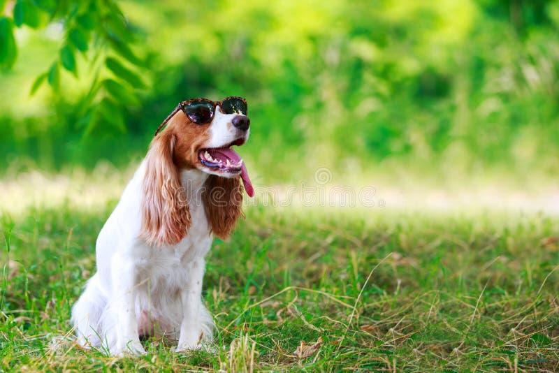 Spaniel da caça do russo da raça do cão fotografia de stock royalty free