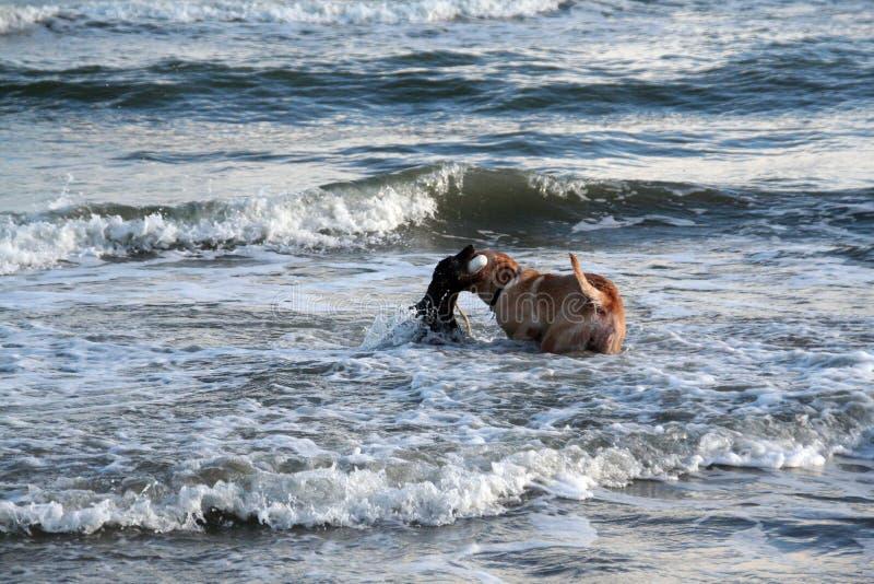 Spaniel de Boykin e laboratório amarelo que jogam em ondas de oceano na praia em Charleston South Carolina imagem de stock