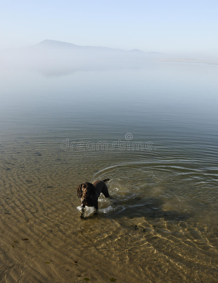Spaniel de Boykin na água fotografia de stock royalty free