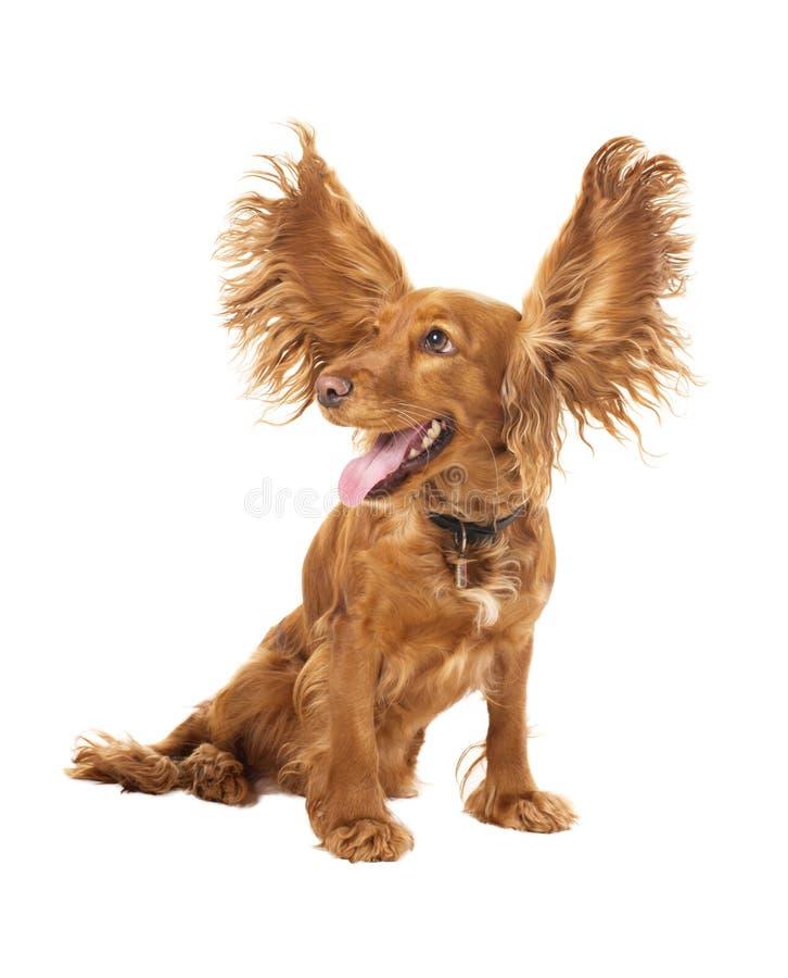 Spaniel de cocker adorável com as orelhas do vôo no estúdio imagem de stock