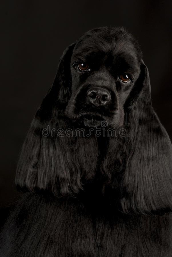 Spaniel de cocker americano imagem de stock royalty free