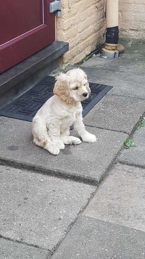 Spaniel de Cocker americano do filhote de cachorro imagens de stock royalty free