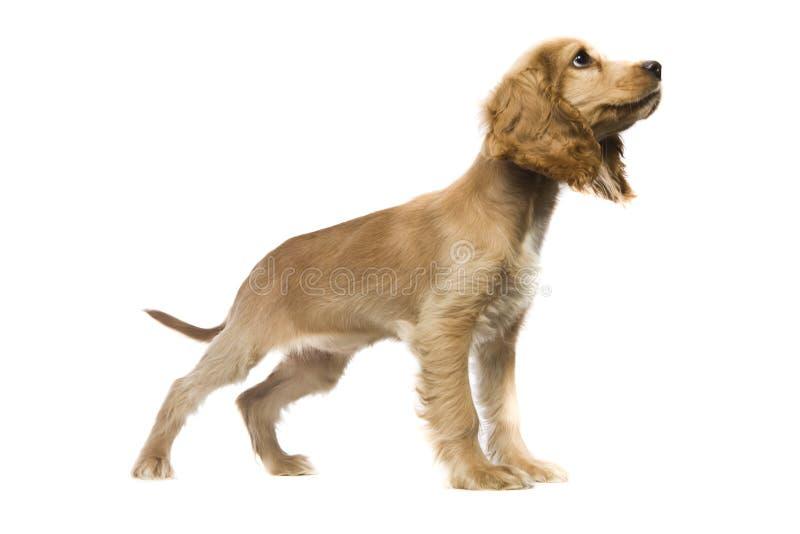 Spaniel de Cocker americano do filhote de cachorro imagens de stock
