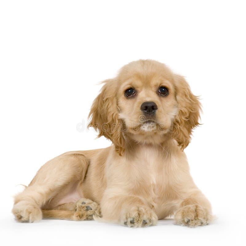 Spaniel de Cocker americano do filhote de cachorro fotografia de stock royalty free