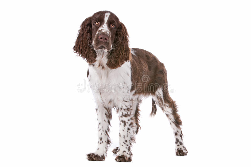 Spaniel de Springer imagem de stock royalty free