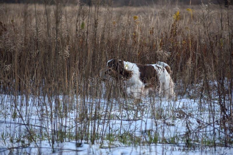 Spaniel de Springer inglês da raça do cão no ar livre O cão recupera um pássaro foto de stock royalty free
