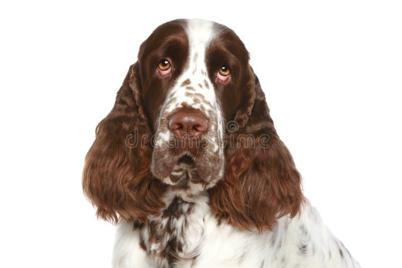 Spaniel de Springer inglês. Retrato do Close-up imagens de stock