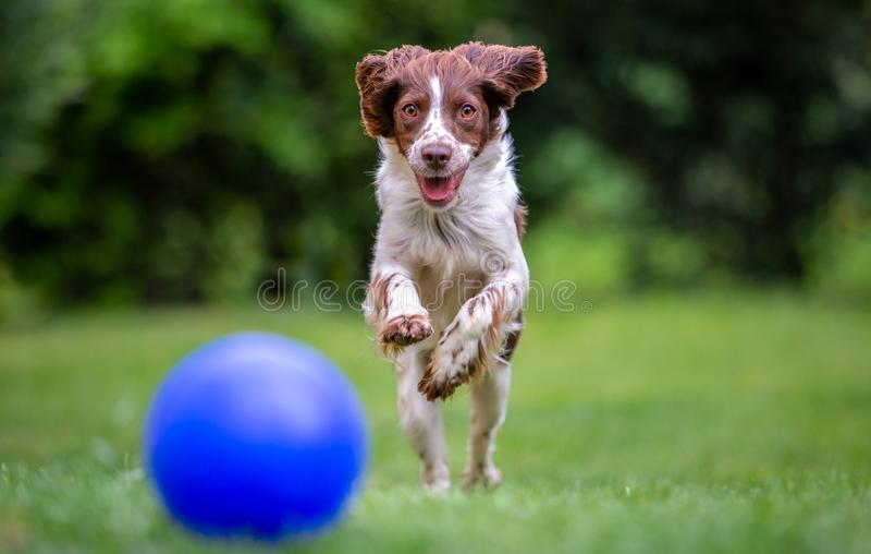 Spaniel de Springer novo que tem o divertimento que persegue uma bola azul através do gramado imagens de stock royalty free
