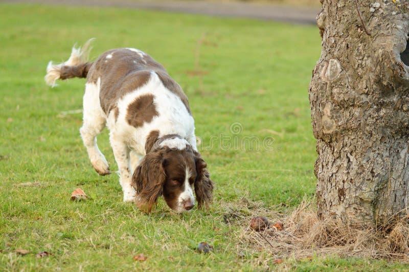 Spaniel de Springer que aspira a terra no pomar imagem de stock royalty free