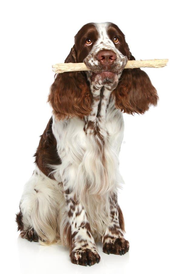 Spaniel de Springer que joga com uma vara imagem de stock royalty free