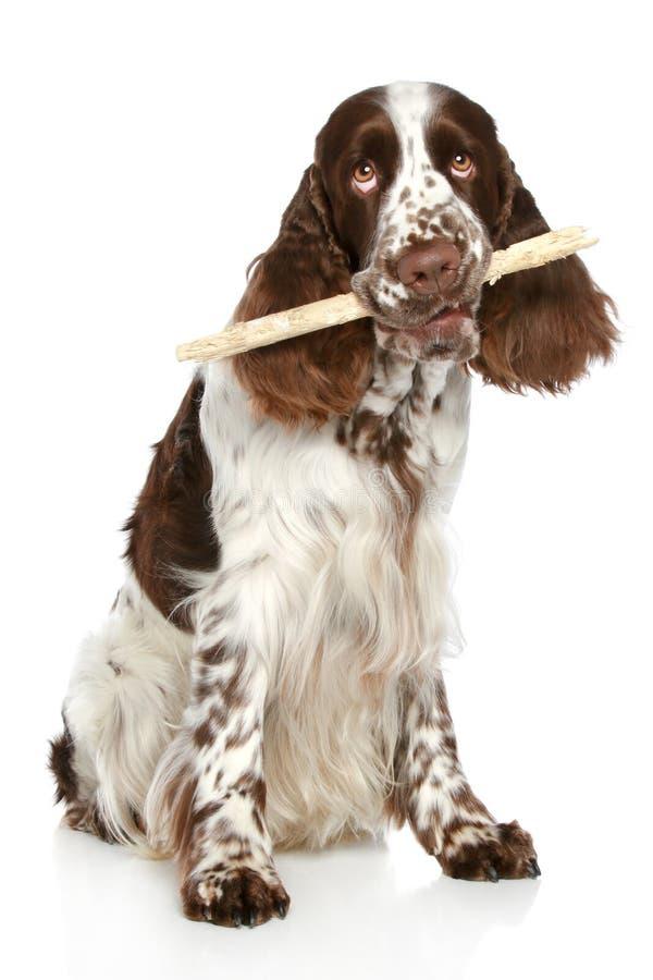 Spaniel de Springer que joga com uma vara fotografia de stock royalty free