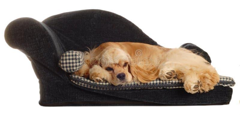 Spaniel, der auf Hundebett schläft lizenzfreie stockfotos