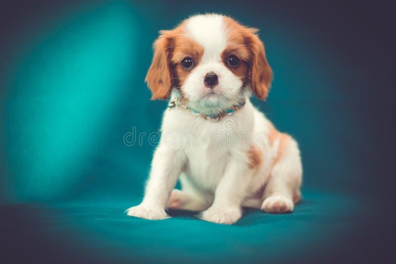 Spaniel descuidado do rei Charles do cachorrinho pequeno bonito fotografia de stock