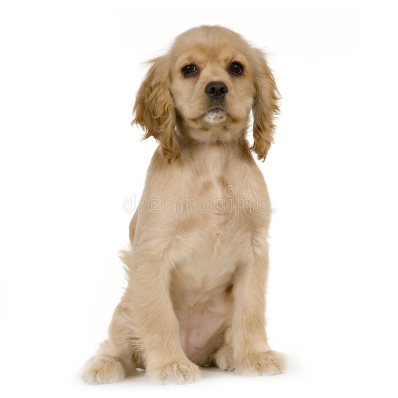 Spaniel di Cocker americano del cucciolo fotografia stock libera da diritti
