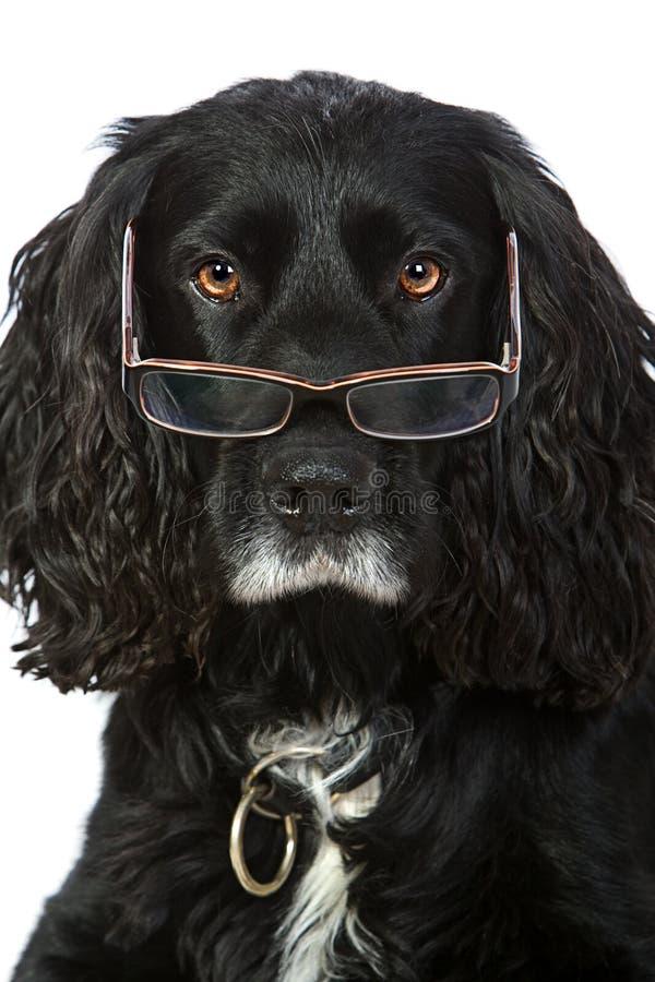 Spaniel di Cocker di sguardo intelligente con i vetri immagine stock libera da diritti