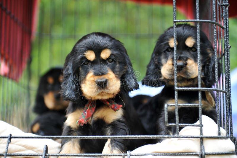 Spaniel di cockers dei cuccioli immagine stock libera da diritti