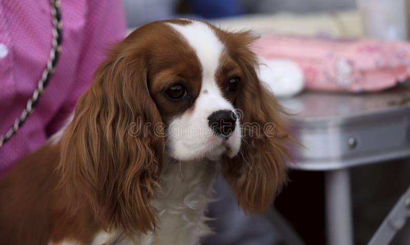 Spaniel di re Charles sprezzante del cucciolo Foto della via fotografie stock