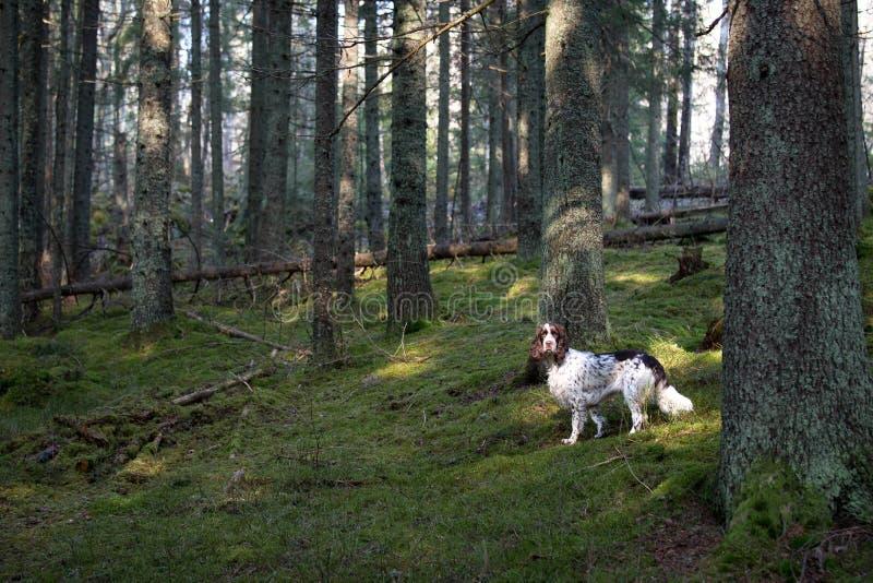 Spaniel di Springer in vecchia foresta fotografia stock libera da diritti