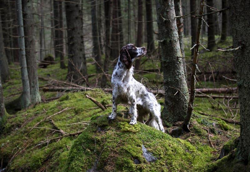 Spaniel di Springer in vecchia foresta immagini stock libere da diritti