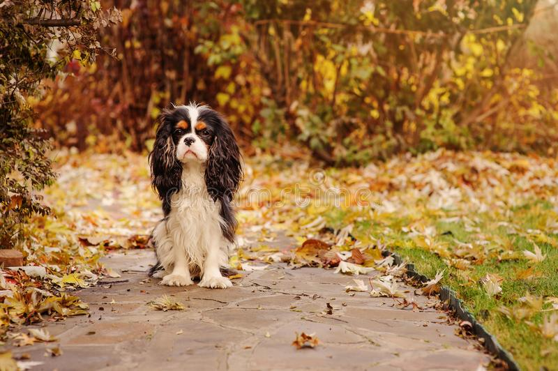 Spaniel dog sitting under marple tree on the ground full of dried leaves. Late autumn in the garden stock image