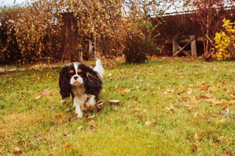 spaniel dog walking in november garden. stock image