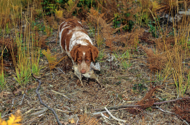Spaniel dog and woodcock. Spaniel dog with a woodcock in the mouth stock photos