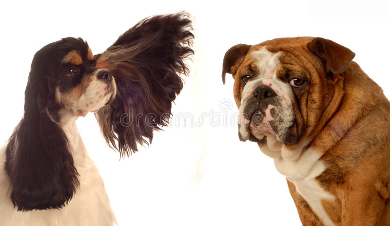Spaniel e bulldog di Cocker immagine stock