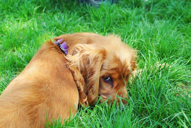 Spaniel. English Cocker Spaniel resting on the lawn royalty free stock photo