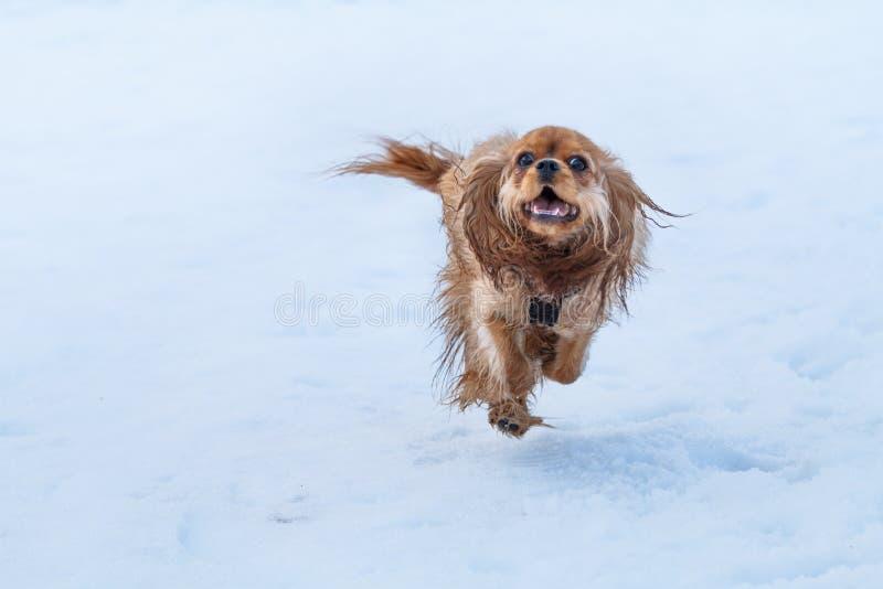 Spaniel för konung charles för rubin stolt i snö royaltyfri foto