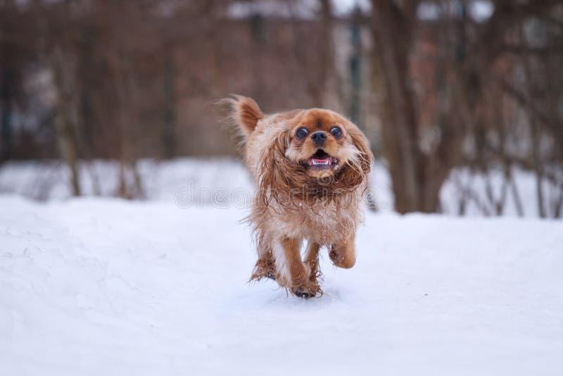 Spaniel för konung charles för rubin stolt i snö royaltyfri fotografi