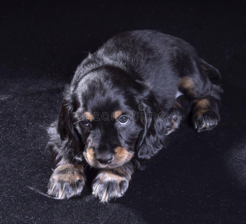 spaniel för valp för svart hund rysk på svart bakgrund fotografering för bildbyråer