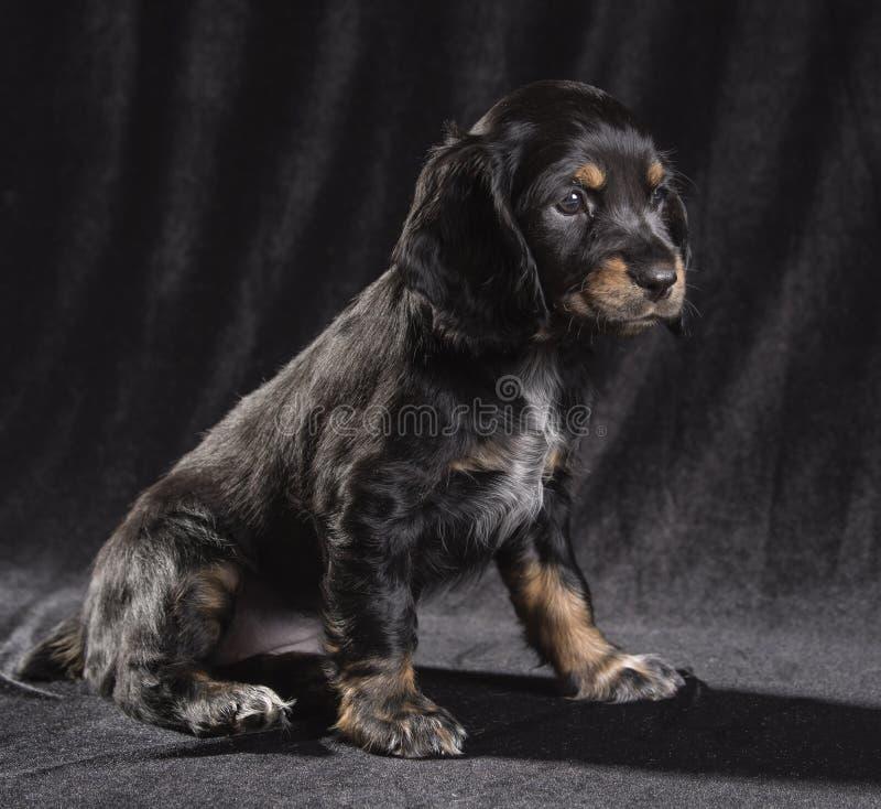 spaniel för valp för svart hund rysk på svart bakgrund royaltyfria bilder
