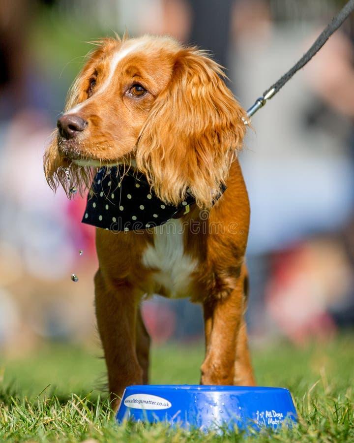 Spaniel het drinken van een blauwe kom in het park bij een hond toont royalty-vrije stock foto's