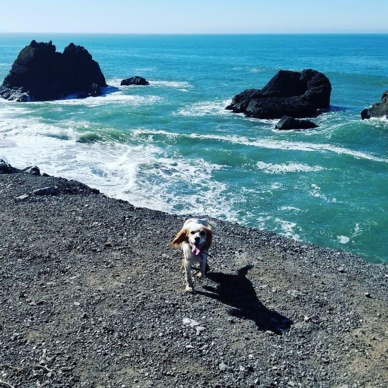 Spaniel i ocean fotografia royalty free