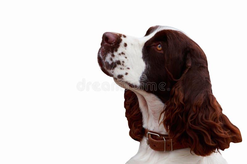 Spaniel inglese da salto della razza del cane fotografia stock libera da diritti