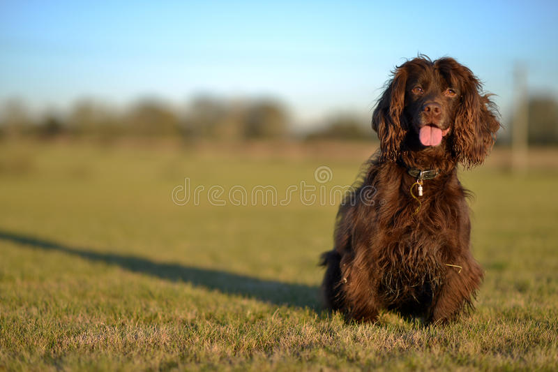 Spaniel. Liver working cocker spaniel sitting in a grass field stock image
