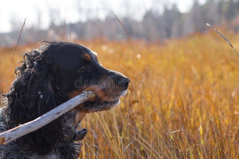 Spaniel manchado do russo com a vara nos dentes que estão no amarelo a imagens de stock