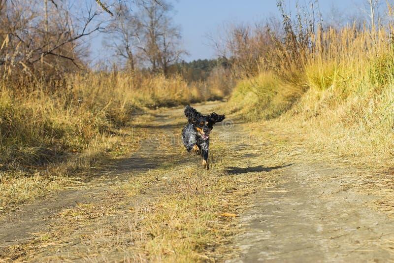 Spaniel manchado do russo que corre abaixo da estrada para o outono foto de stock