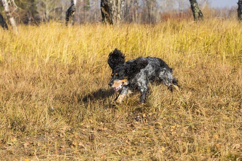 Spaniel manchado do russo que corre e que joga no gra amarelo do outono fotografia de stock