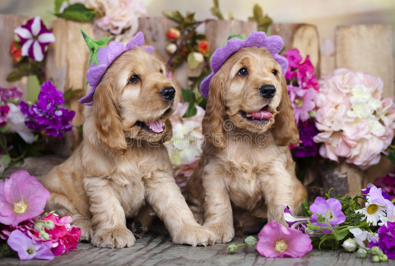 Spaniel puppies stock images