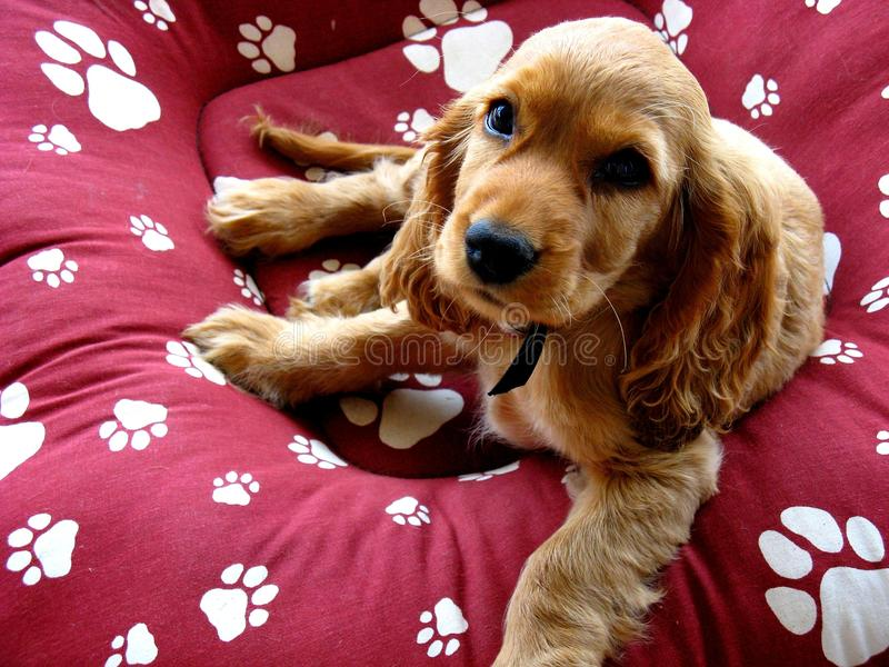 Download Spaniel Puppy stock image. Image of paws, tail, family - 16576381